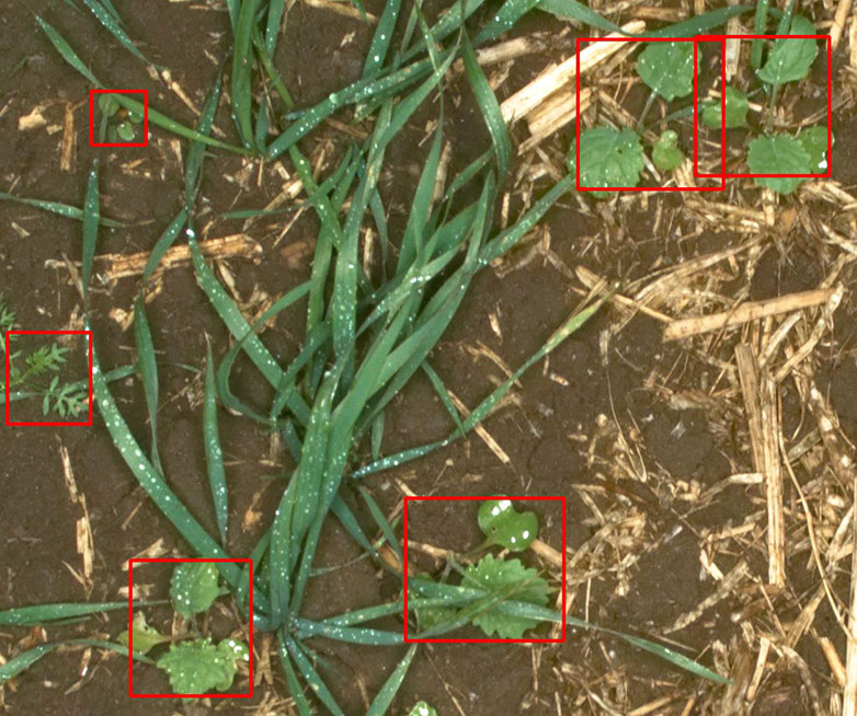 Picture of weed crops